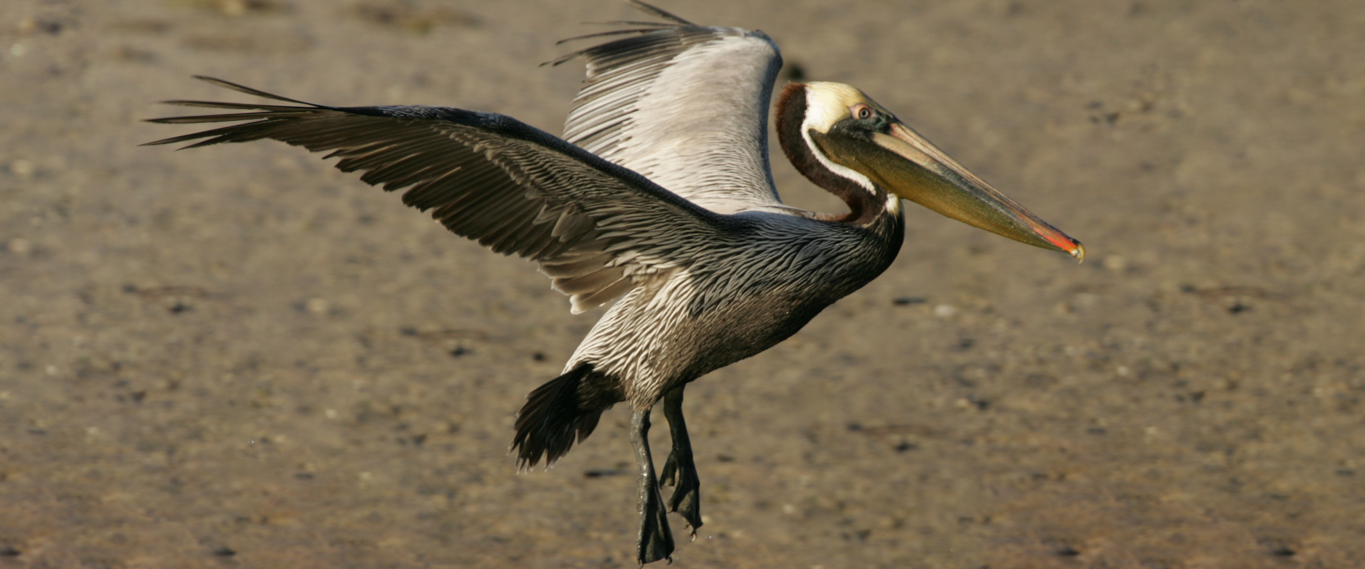 A Brown Pelican lands on the restored Queen Bess Island.