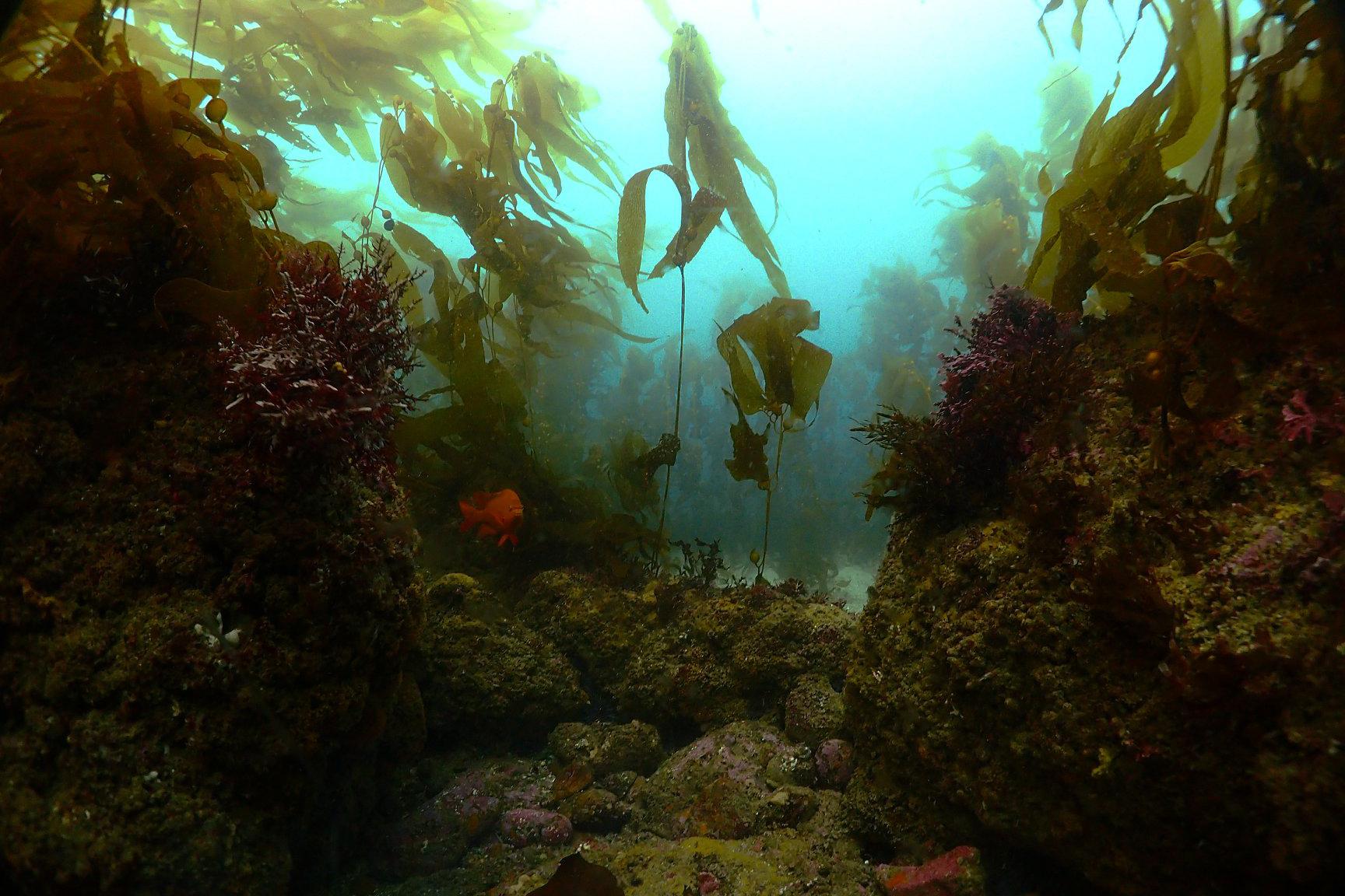 Healthy kelp forest habitat after restoration in California.