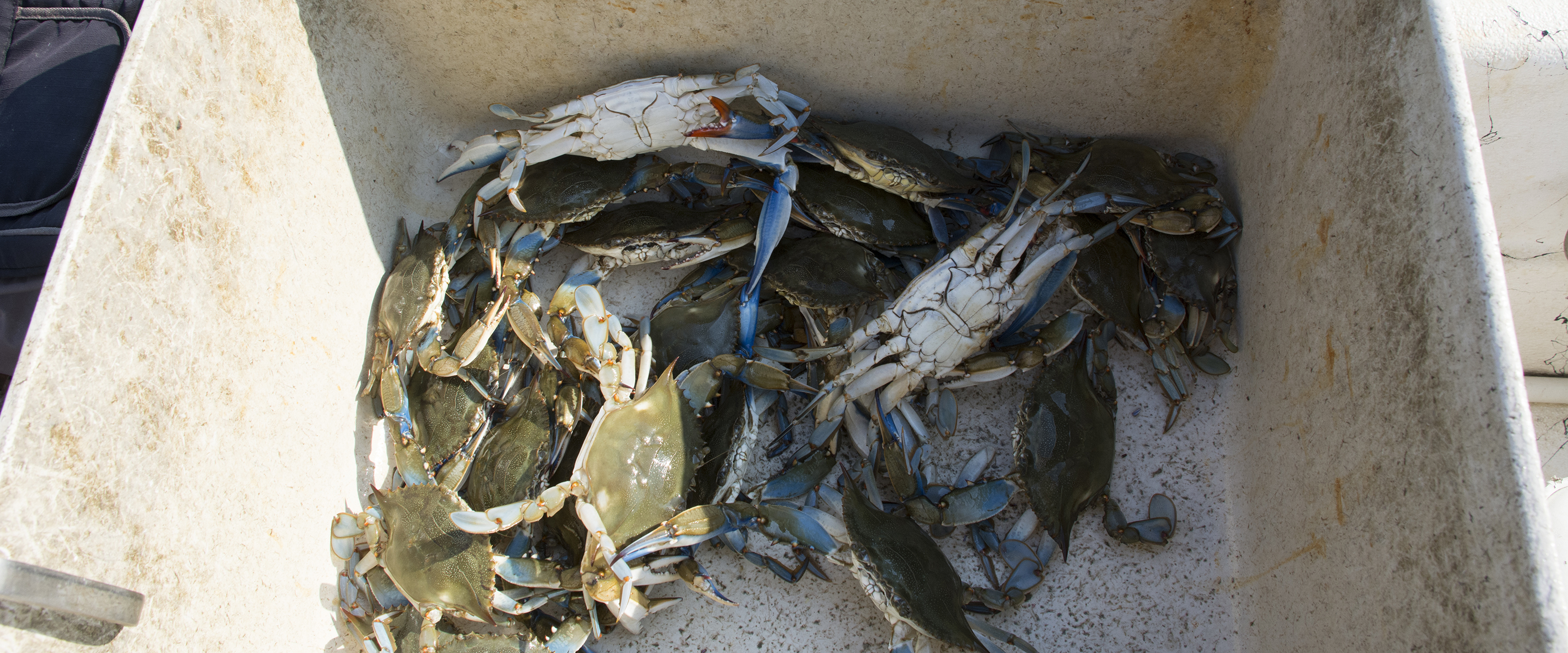 Catching crabs with baited bags on line. Crabs netted at surface and measured for keeper size on deck.