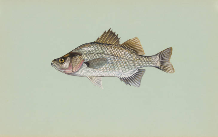 Scientific illustration of a white perch fish.