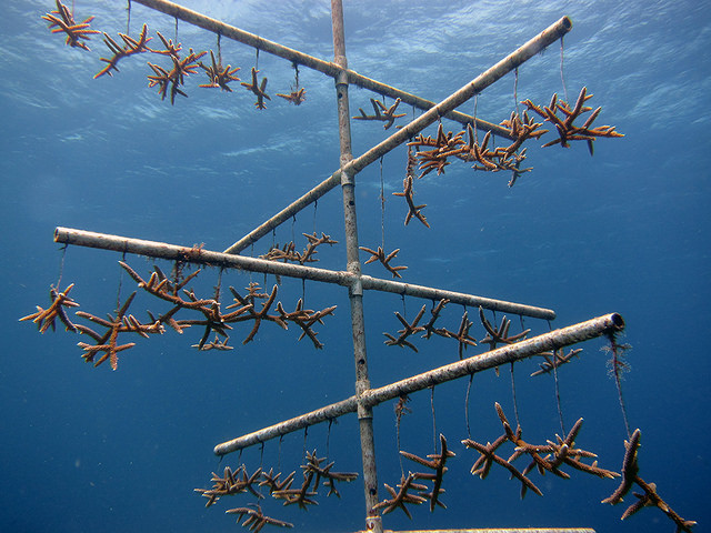 NOAA uses coral nurseries to help corals recover after traumatic events, such as a ship grounding.