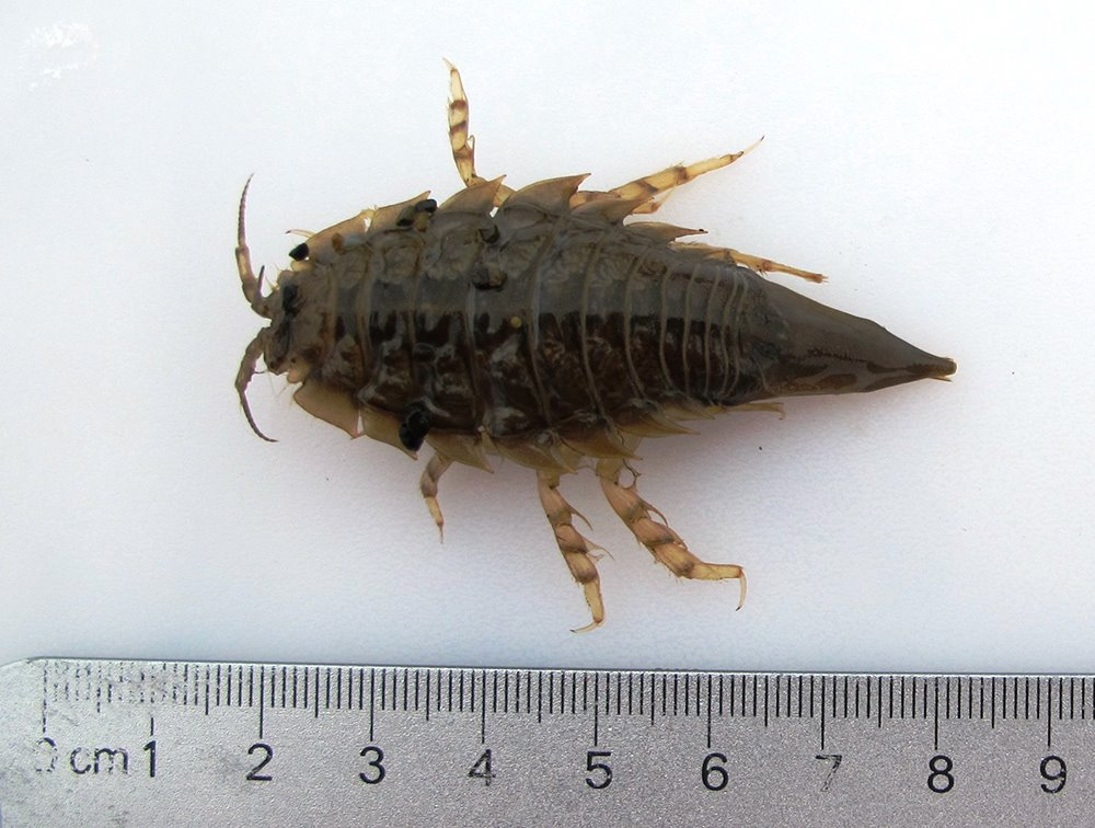 Arctic isopod (a crustacean related to the pillbug or roly-poly) collected for a tissue sample along Alaska's Chukchi coast in 2014.