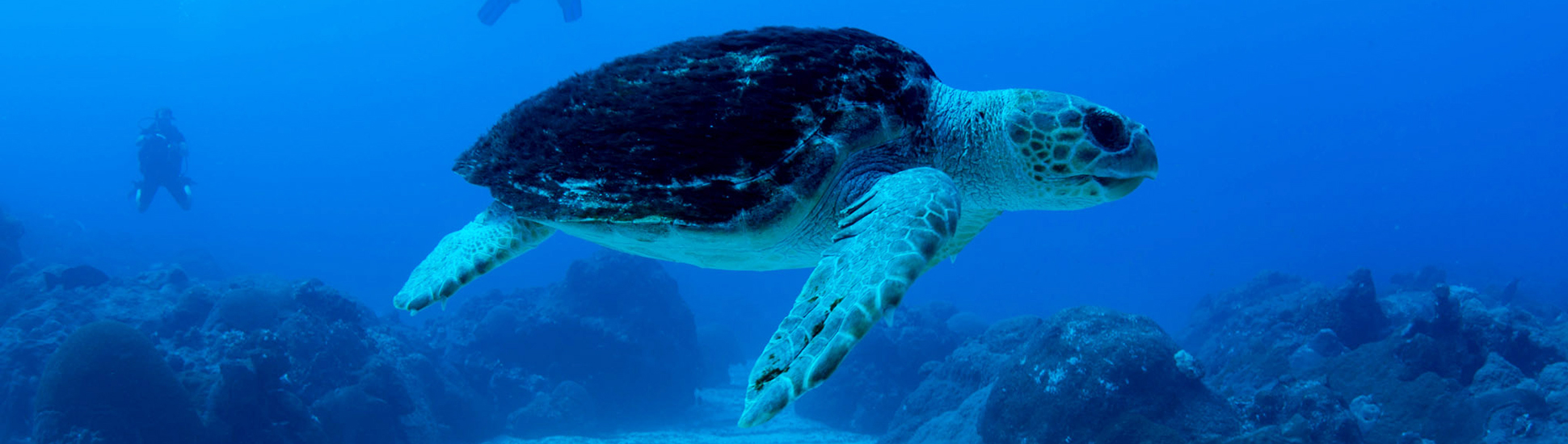 A loggerhead turtle swimming by divers in the Gulf of Mexico.