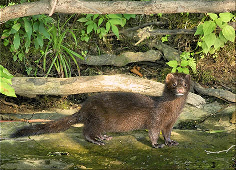 Brown mink standing on rock next to stream surrounded by plants.