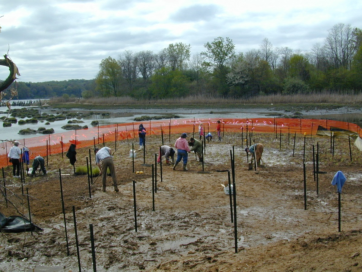 Volunteers assisting in the 2003 installation of saltmarsh plants and geese exclusion fencing/flagging.