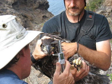 Taking measurements of young bald eagles during banding at Fraser Point on Santa Cruz Island. (Institute for Wildlife Studies)