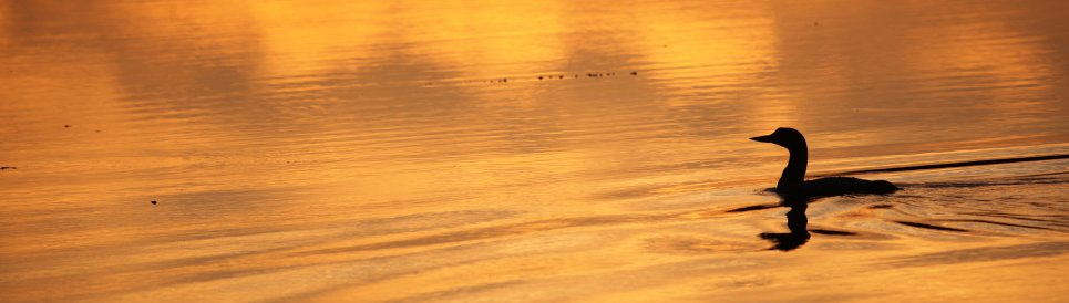 Silhouette of a common loon swimming on the surface of a river as the sun sets. Photo: Joseph Sands, USFWS.