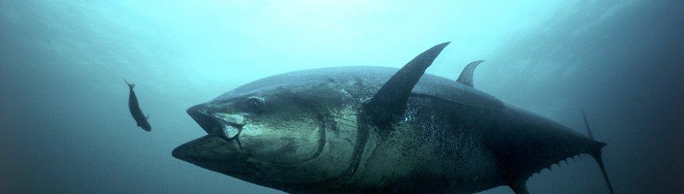 An Atlantic bluefin tuna strikes.