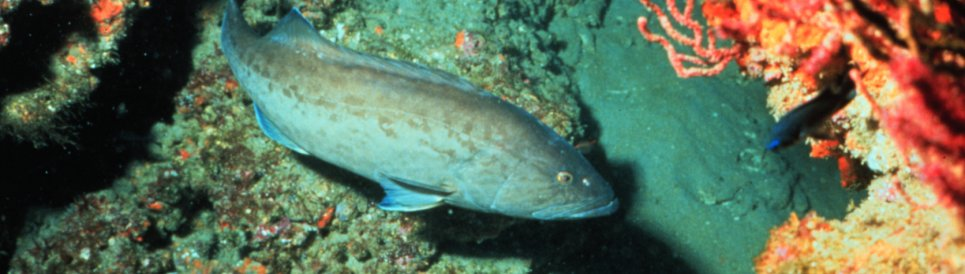 Gag groupers are a species targeted for restoration in the recreational fisheries barotrauma reduction project.