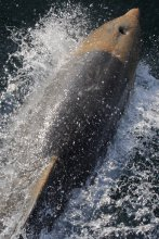 Bottlenose dolphin with oil adhered to the head, July 2010.