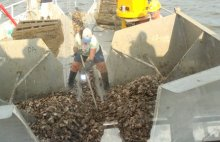 Oysters are planted on a reef created as part of the Chalk Point Oil Spill settlement.