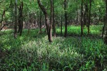 View of bottomland hardwood habitat at the Simmons Tract along the Tensaw River