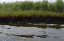 Shoreline vegetation stained with dark band of oil.