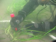 Diver planting eelgrass at Milwaukee Dock site.