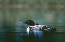 Restoration included conservation easements and land protection to protect loon on lakes. (Source: USFWS)