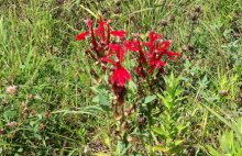 The settlement funds will be used to expand an existing wildflower meadow. A profusion of wildflowers, including this Cardinal flower, stand at the site of the former Exxon Mobil Terminal overlooking the harbor.