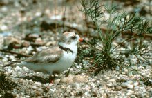 Endangered Piping Plover (on nest), one of the species helped by restoration efforts. (Source: USFWS)