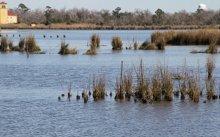 Clumps of planted marsh grass in restored estuarine marsh, looking towards Bridge City.