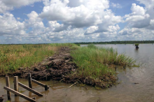 Marsh grasses, planted early in the restoration, are taking hold and spreading, crowding out invasive plants.