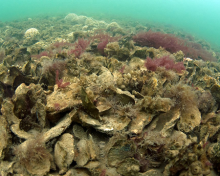 Healthy oyster reef (NOAA).