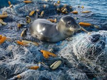 A Hawaiian monk seal hauls out on a mass of derelict fishing gear at Pearl and Hermes Atoll.