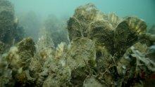 Underwater oyster reef