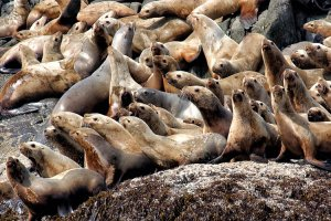 Large group of sea lions on the shore.