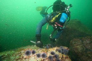An underwater photo of a diver removing sea urchins from a rock in green water.