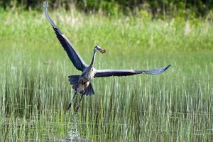 Blue heron takes off above marsh.