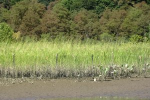 Wild rice is one of several species reintroduced to East Foundry Cove marsh as part of on-going efforts to reconstruct the wetland following remediation in 1995.