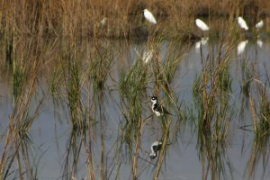 A black-necked Stilt and Snowy Egrets in restored wetland habitat. Photo provided courtesy of Chevron.