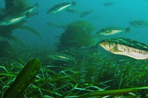Eelgrass along the bottom provides foraging areas and shelter for fish. NOAA photo by Adam Obaza.