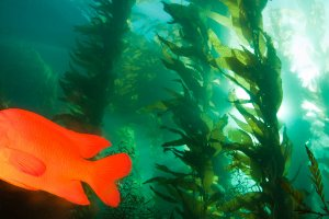 Kelp forests like this one of of Catalina Island provide shelter and food for fish and invertebrate species.