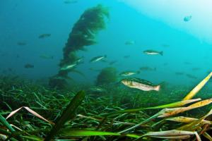 Submerged Aquatic Vegetation (Credit: NOAA).