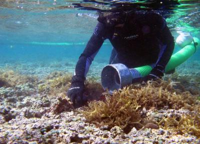 "Using a device known as the ""Super Sucker"" — a diver removes invasive algae from coral reefs in Hawaii. (State of Hawaii Division of Aquatic Resources)"